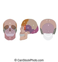 human head bones - vector illustration of human head bones...