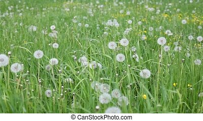grass and dandelions moving with the wind