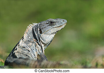 Spiny Tailed Iguana (Ctenosaura Similis)