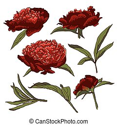 Peony flowers vector llustration set - Peony flowers. vector...