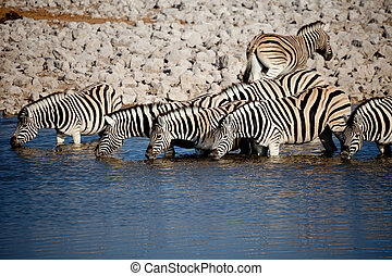 Zebras in a row - Row of Zebras drinking from a watering...