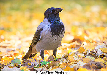 Crow walking in the leaves in Warsaw park