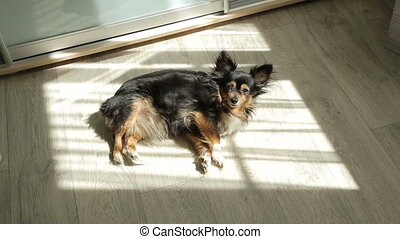 Toy Terrier Lying on the Sunshine - toy terrier resting in...