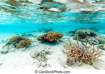 Shallow Water Coral Reef, Maldives