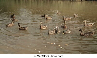 Ducks in water of lake eat bread