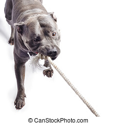 Dog pulling on rope - Pet dog pulling or tugging rope, white...