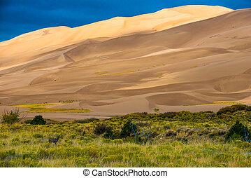 Wild Deer Sand Dunes Colorado - Wild deer at Great Sand...