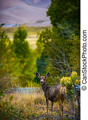 Wild Deer Colorado Wildlife - Wild deer at Great Sand Dunes...