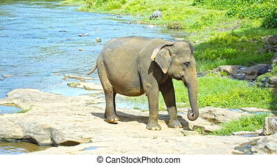 Elephant calf nibbling on grass by the river