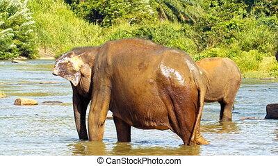 Elephants drinking water in river