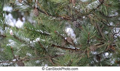 Pine branch with cones in winter - Pine branch with a cones...