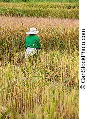 working man on the rice field - in the middel of the day an...