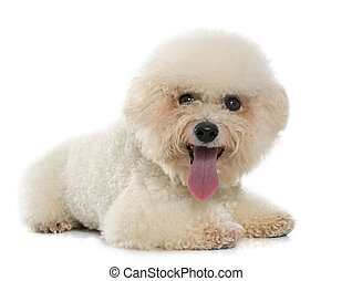 purebred bichon frise - bichon frise maltese dog in front of...
