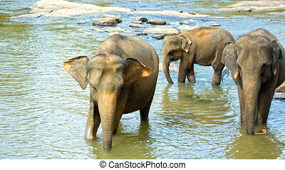 Elephants crossing the river - Asian elephant herd crossing...