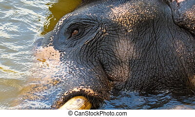 elephant resting in the river head macro shot