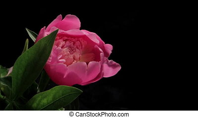 Peony Flowering Timelapse - Isolated Flower blooming...