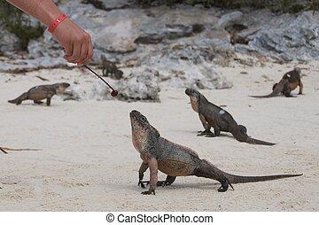 Iguana of Bahamas - Feeding an Iguana in the Bahamas