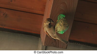 Two sparrows peck on seed-ball - A little sparrow is pecking...