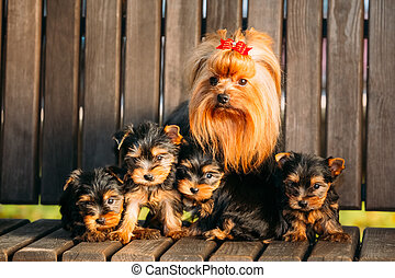 Adult Yorkshire Terrier dog with puppies