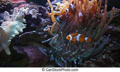 Two Nemo Clown Fish - Two colorful nemo clown fish in...