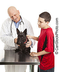 Vet Cares for Scotty Dog - Veterinarian examines a Scotty...