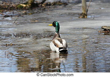 Mallard-Drake - A Mallard Duck (Drake) swimming up a small,...