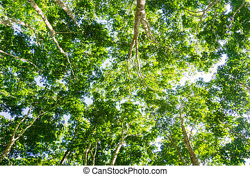 Para rubber tree plantation, Tree with green leaves...