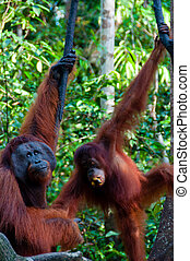 two Orang Utan hanging on a tree in the jungle, Indonesia -...