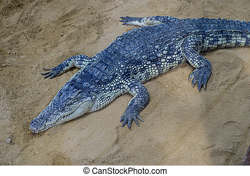 predator, crocodile resting on the sand beside a brown river