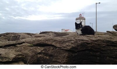 Cat on the rocks of the Carvoeiro Cape, lighthouse, Peniche,...