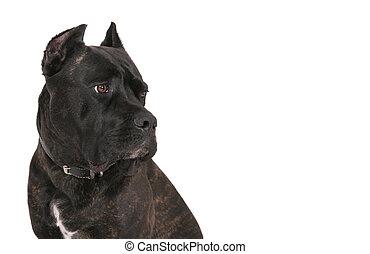 black mastiff - closeup headshot of a black bull mastiff pet...