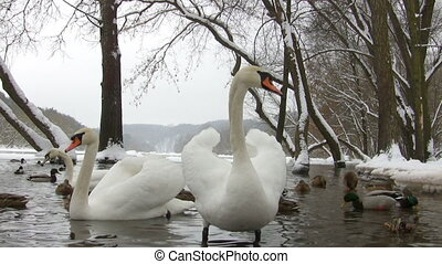 swans and ducks in the winter pond