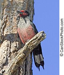 Lewiss Woodpecker - Melanerpes lewis