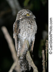 Northern Potoo - Nyctibius jamaicensis