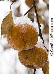 Apples Snow Winter - Apples covered with snow hanging on the...