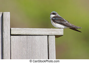Tree Swallow on a bird house - Tree Swallow tachycineta...