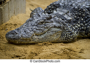 crocodile resting on the sand beside a brown river