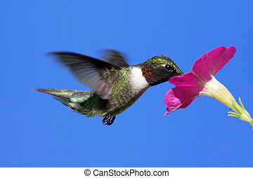 Male Ruby-throated Hummingbird (archilochus colubris) in...