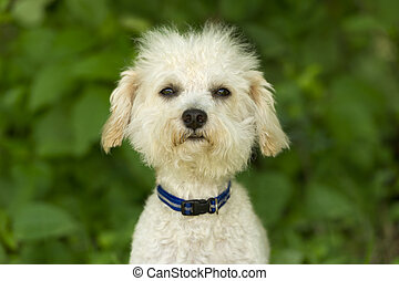 Funny Dog Face - Funny dog face is a cute white fluffy puppy...