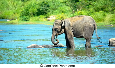Elephant calf drinking water river - Asian elephant calf...