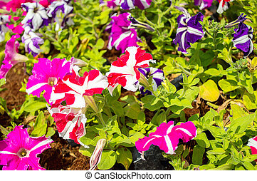 colorful meadow with petunia flower