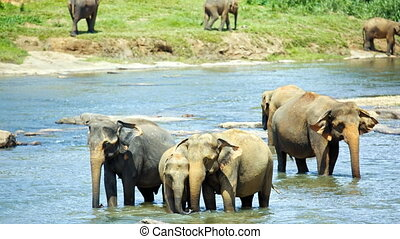 Elephants drinking water in river - Asian elephant herd...