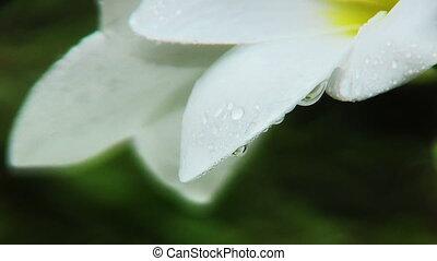White Plumeria Flowers - White plumeria flowers on black...