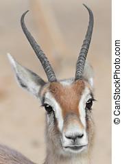 Detail dorcas gazelle - Detail of a gazelle dorcas