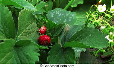 Strawberries - Two strawberries and green leaves close up