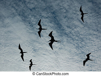 Magnificent frigate birds silhouetted in flight - Flying...