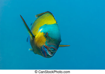 Bullethead parrotfish apparently smiling at the camera -...
