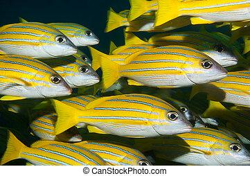 A shoal of bluestripe snapper in the Maldives - Bluestripe...