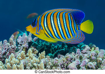 Regal angelfish swimming over a coral reef in the Red Sea -...