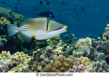 Picasso triggerfish swimming over a coral reef - Picasso...